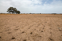 Millet Cultivation.  Kaolack, Senegal.  This labor-intensive method consists of holes with compost and seeds individually placed by hand. DOZENS MORE OF IMAGES RELATED TO MILLET CULTIVATION ARE AVAILABLE.  WHAT DO YOU NEED?