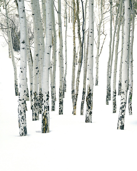 Lone pine tree in an aspen forest, winter, Rocky Mountain National Park, Estes Park, Colorado, USA. .  John offers private photo tours and workshops throughout Colorado. Year-round. .  John leads private photo tours in Boulder and throughout Colorado. Year-round Boulder photo tours.
