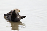 Sea Otter (Enhydra lutris) male in shallow water, Elkhorn Slough, Monterey Bay, California