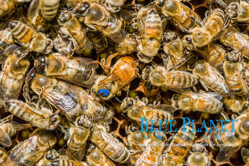 Coloniy with blue marked Queen, Carniolan honey bees (Apis mellifera carnica) ,colony is inserting an egg, Saxony, Germany, Europe
