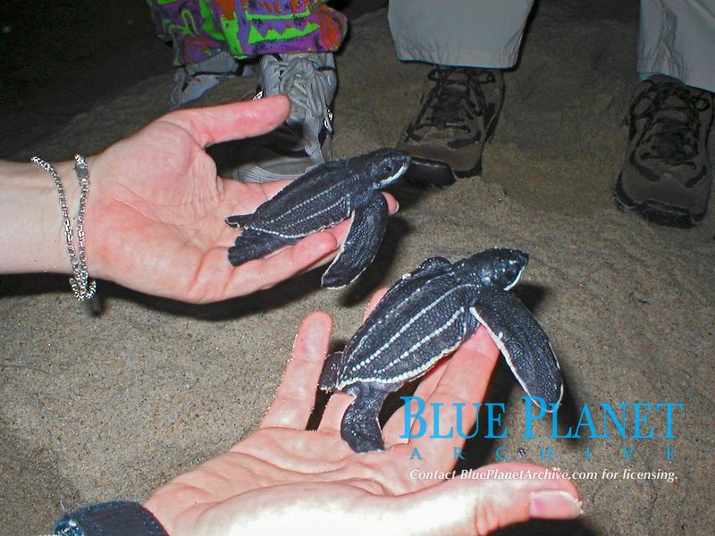 voluneteer holds leatherback sea turtle hatchlings, Dermochelys coriacea, Dominica, Caribbean, Atlantic