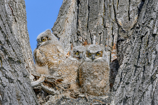 Young Great Horned Owlets (Bubo virginianus) keep watch from the crotch of a tree.  Oregon, spring.  Note: mother owl on right side.