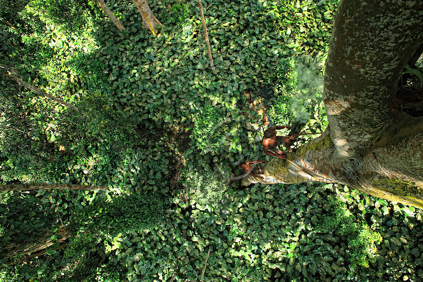 Two honey-hunters climb a tree in a forest of Marantaceae.<br /> For the trees more than 40 metres high, if the trunk is not surrounded by lianas the men climb in the fashion of tree surgeons, with a simple belt made with a liana. The liana is wrapped around the trunk, knotted and they climb in opposition with their feet, making notches in the trunk with an axe.<br /> Deux chasseurs montent à un arbre dans une fôret à Marantaceae.<br /> Pour les arbres de plus de 40 mètres, si le tronc n'est pas entouré de liane, les hommes montent à la mode des élagueurs avec une simple ceinture fabriquée avec une liane. La liane est entourée autour du tronc, nouée et ils montent en opposition à l'aide de leurs pieds en créant des encoches dans le tronc à l'aide d'un hâche.