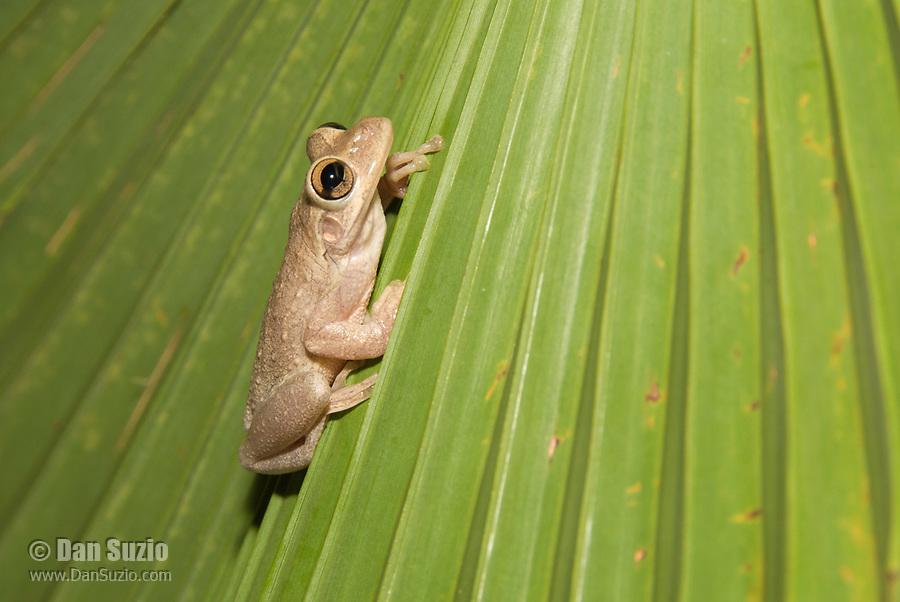 A Cuban Treefrog, Osteopilus septentrionalis, sits on a palm frond in Isla de la Juventud, Cuba