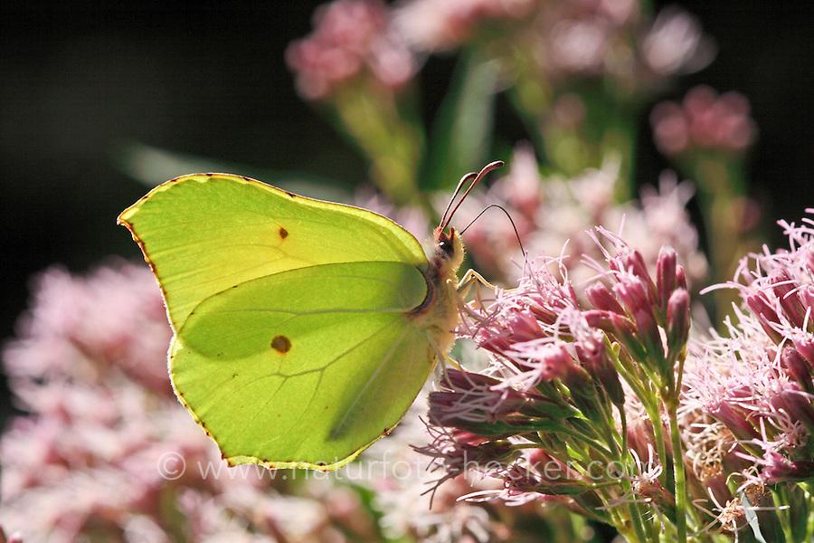 Zitronenfalter, Zitronen-Falter, Gonepteryx rhamni, Blütenbesuch, brimstone, brimstone butterfly