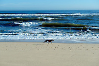 Dog running on a beach.