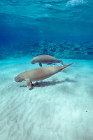 dugong, or sea cow, Dugong dugon, mother and calf, Indo-Pacific Ocean