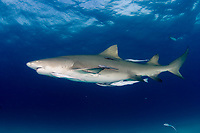 Lemon shark underwater in Bahamas. Negaprion brevirostris, Caribbean, Atlantic