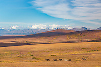 Herd of reindeer along the Teller Highway, Kigluaik Mountains in the distance, Seward Peninsula, Alaska.