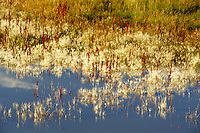 Pond with grasses reflected. Black Rock Desert Nevada