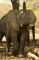 Front view of African Bull Elephant displaying anger in the South Luangwa Valley, Zambia Africa.