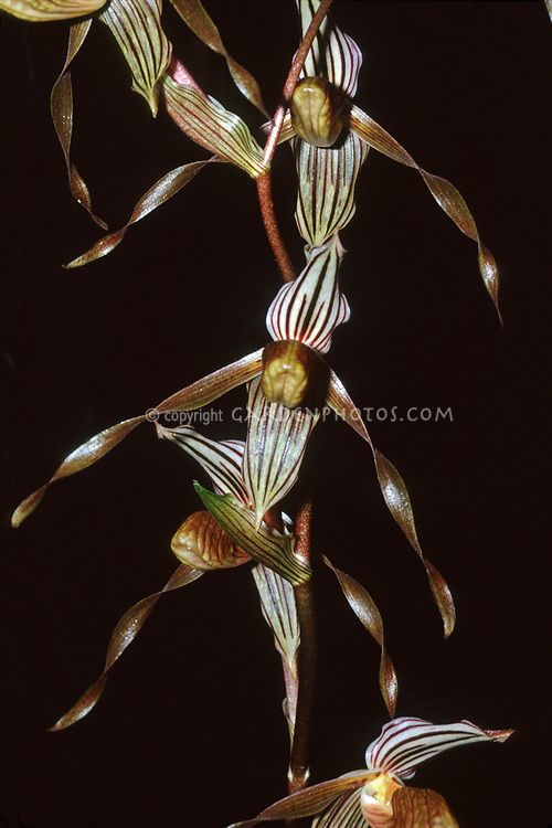 Paphiopedilum kolopakingii endemic to Borneo, only in central Kalimantan. Named after A. Kolopaking