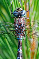 Green (blue) darner dragonfly Genus Anax, Nova Scotia breeding