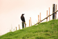 Lonely crow sitting on wooden fence stock photo.