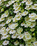Vashon, WA<br /> Cascade of white blossoming clematis (Clematis 'guernsey cream')