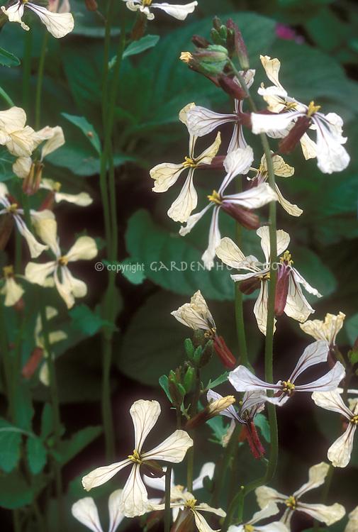 Eruca vesicaria sub. sativa, Salad Rocket, flowers closeup