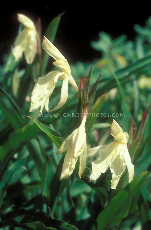 Roscoea 'Beesiana' (pale yellow) in flower