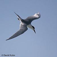 0711-0813  Least Tern in Flight Preparing to Dive, Sterna antillarum [See 0711-0811, 0711-0812 for flight sequence] © David Kuhn/Dwight Kuhn Photography