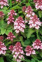 Whorled lousewort, Pribilof Islands, Alaska