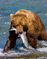 brown, Grizzly, bear, Ursus arctos horribilis , Katmai National Park , Alaska, USA