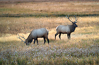 Elk in medow. Yellowstone National Park, Wyoming