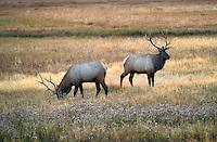 Elk in medow. Yellowstone National Park, Wyoming