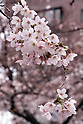 2019 Cherry blossoms in Tokyo