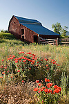 Poppies grow among tall grasses in a field near a barn in Eastern Idaho.