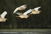 Cattle Egret (Bubulcus ibis), flock in flight, Fennessey Ranch, Refugio, Coastal Bend, Texas Coast, USA