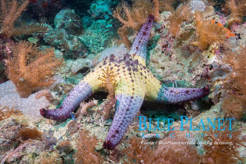 sea star or starfish, possibly Pentaceraster tuberculatus, with small fish perched on arm, Gato Island, off Malapascua, Cebu, Philippines  (Visayan Sea, Western Pacific Ocean)