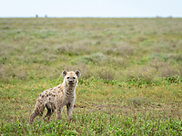 spotted hyena, Crocuta crocuta, young in Serengeti National Park, Tanzania, Africa