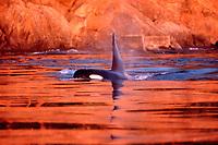 resident orca pod, Orcinus orca, surfacing in mist, Johnstone Strait, British Columbia, Canada, Pacific Ocean