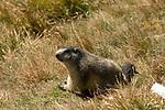 Oesterreich, Kaernten, Herbst im Nationalpark Hohe Tauern - Murmeltier  | Austria, Carinthia: autumn at Hohe Tauern National Park, marmot