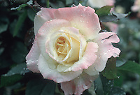 Rose Diana, Princess of Wales hybrid tea roses plant named in memory of Princess Diana, white with pink blushes at ends, with raindrops dew drops
