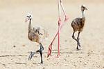 American Flamingo (Phoenicopterus ruber) chicks. Yucatan, Mexico.