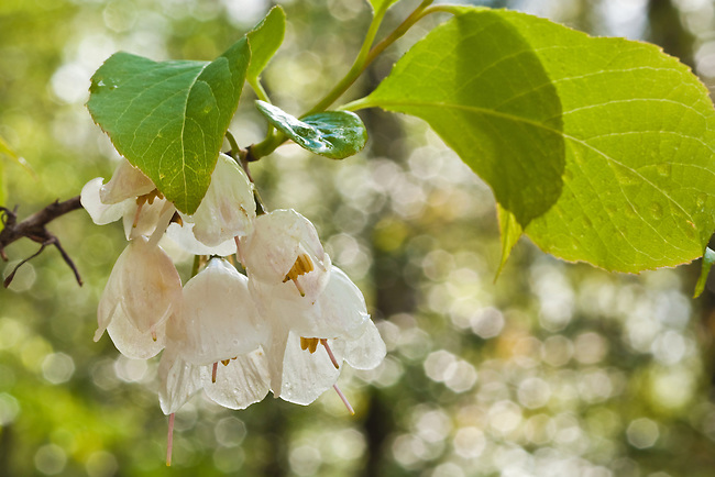Mountain Silverbell (Halesia tetraptera), Sumpter National Forest
