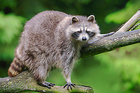 Raccoon (Procyon lotor) in a tree, captive, Germany, Europe