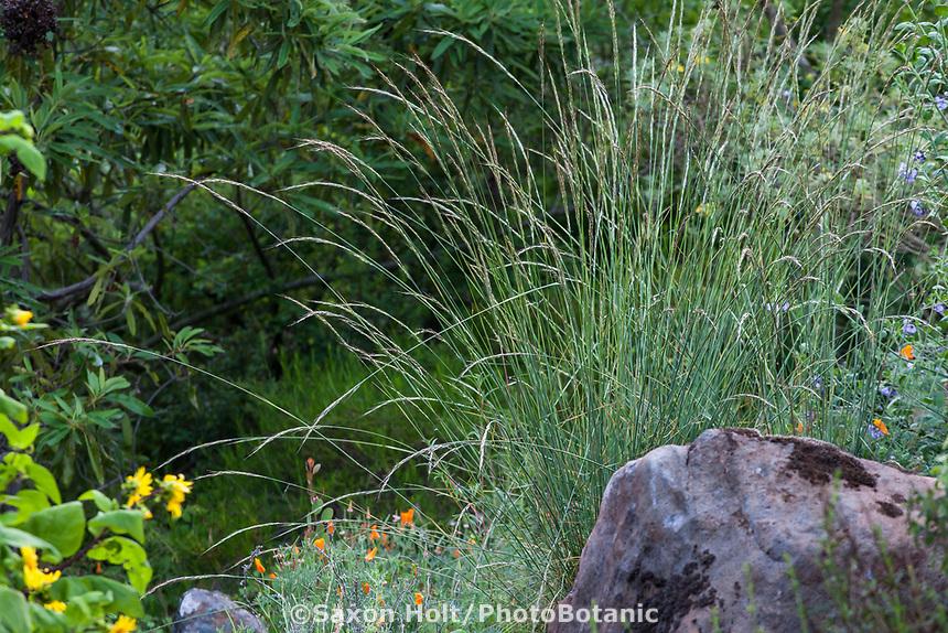 Muhlenbergia rigens California native Deergrass in Regional Parks Botanic Garden, Berkeley, California