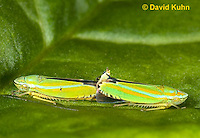 1109-0829  Pair of Versuta Leafhoppers Mating, Graphocephala versuta © David Kuhn/Dwight Kuhn Photography.