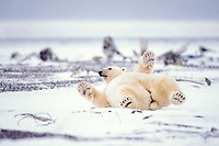 polar bear, Ursus maritimus, rolling around on the pack ice of the frozen coastal plain, 1002 area of the Arctic National Wildlife Refuge, Alaska, polar bear, Ursus maritimus