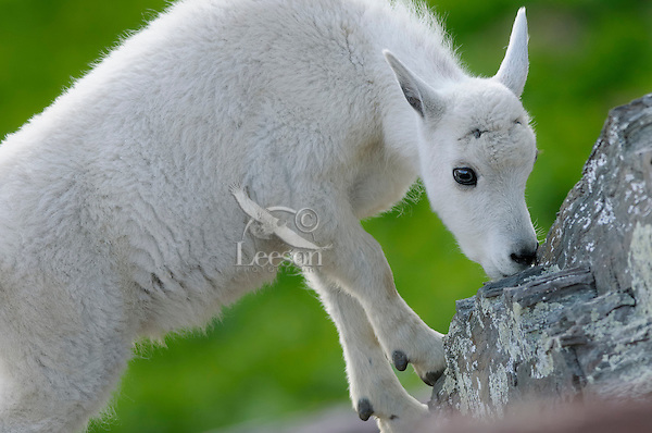 Young Mountain Goat (Oreamnos americanus) kid.  Glacier National Park, Montana.  Summer.