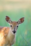 White-tailed deer fawn, National Bison Range, Montana, USA