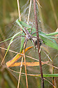 Nursery Web Spider {Pisaura mirabilis} female guarding nursery web. Nordtirol, Austrian Alps, Austria, July.