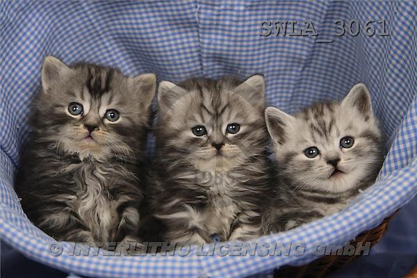 Carl, ANIMALS, photos(SWLA3061,#A#) Katzen, gatos