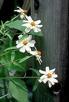 Zinnia angustifolia 'Star Series White' narrowleaf zinnia annual flower