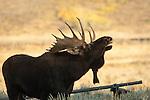 Bull Moose calling