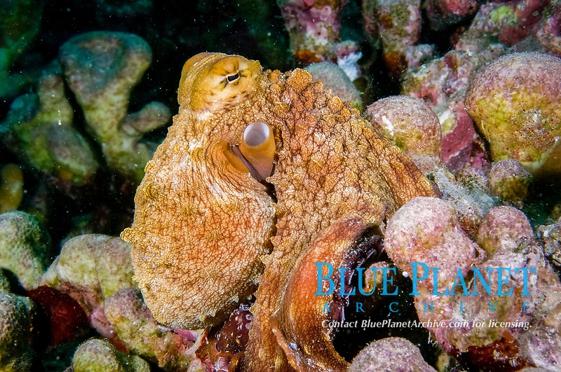 big blue octopus, or day octopus, Octopus cyane., camouflaged, Yap, Micronesia, Pacific Ocean