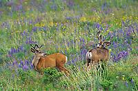 Two mule deer (Odocoileus hemionus), Western U.S.