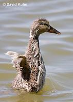 0219-1201  Mallard Duckling Flapping Immature Wings, Anas platyrhynchos  © David Kuhn/Dwight Kuhn Photography