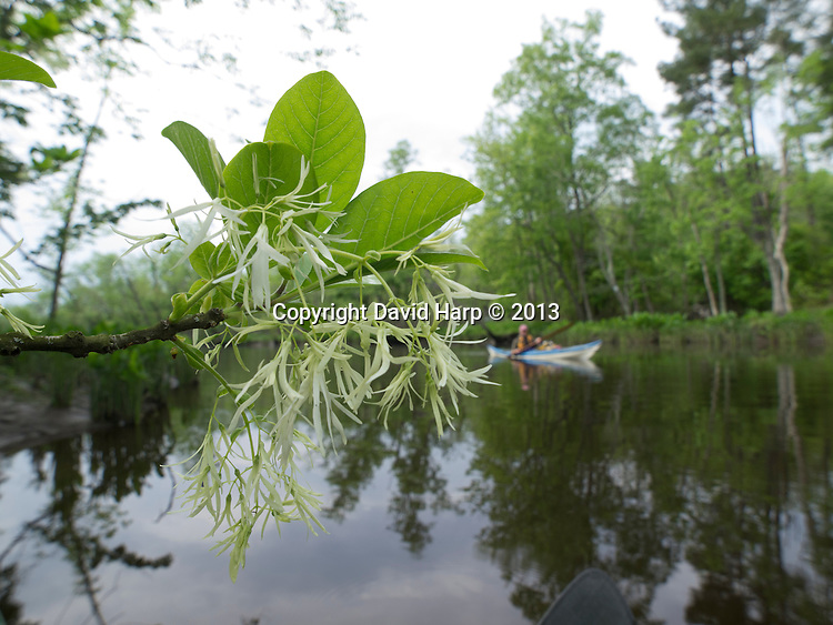 The distinctive blossoms of the fringe tree greet paddlers on Robbins Creek in the Eastern Shore Land Conservancy's Lynch Preserve near Two Johns.